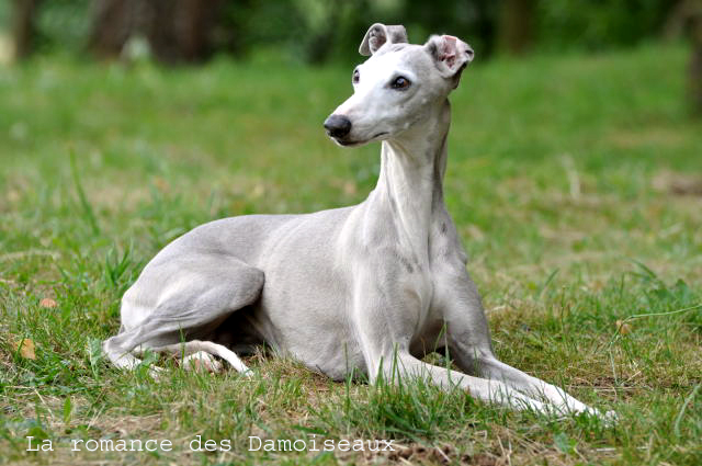 Whippet 24072013_104%20copie